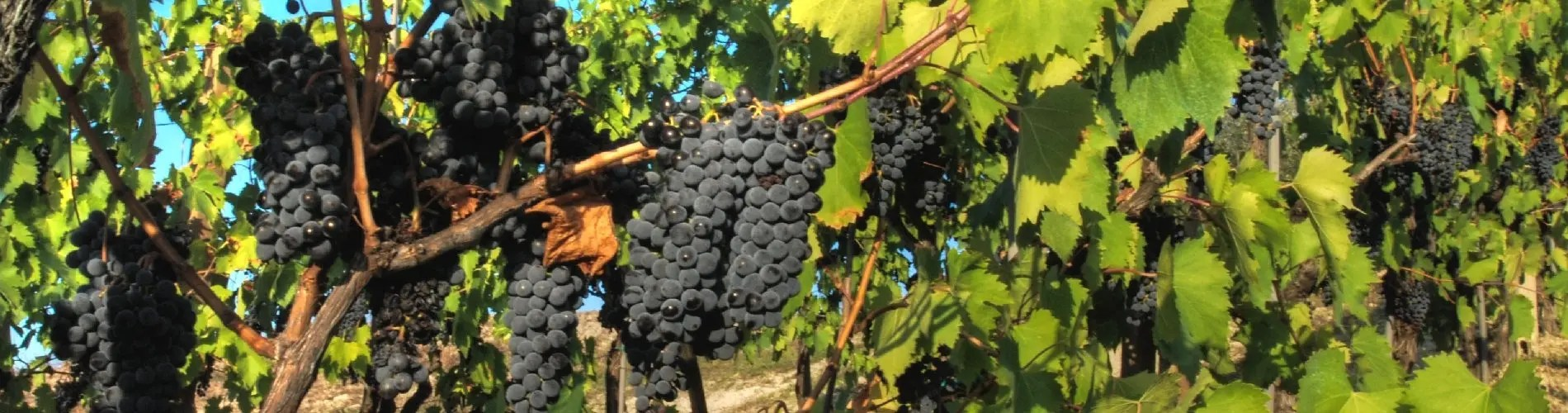 Sangiovese red grapes
