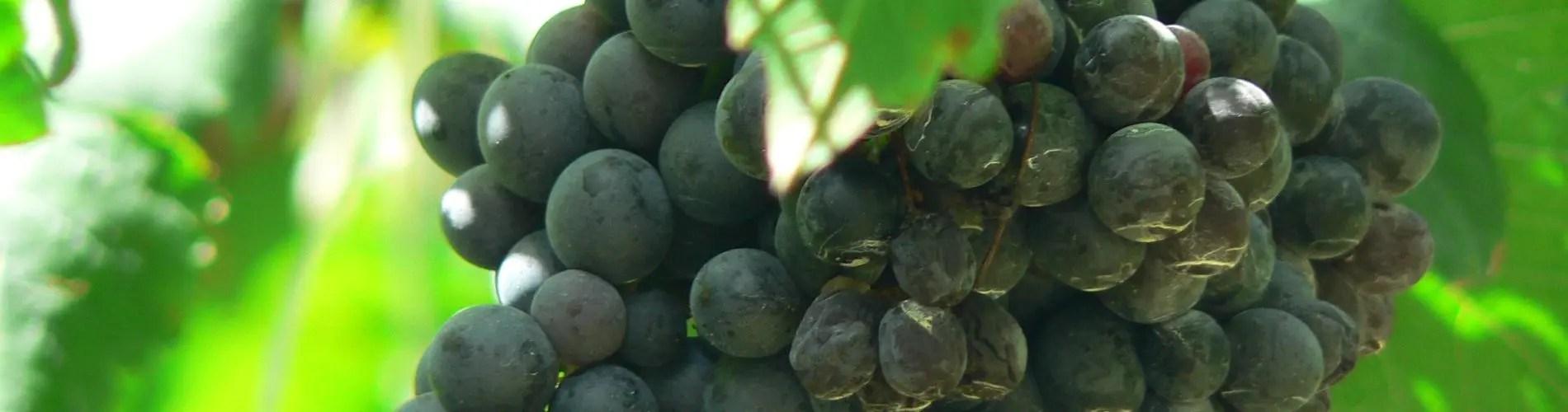 Shiraz grape and vine