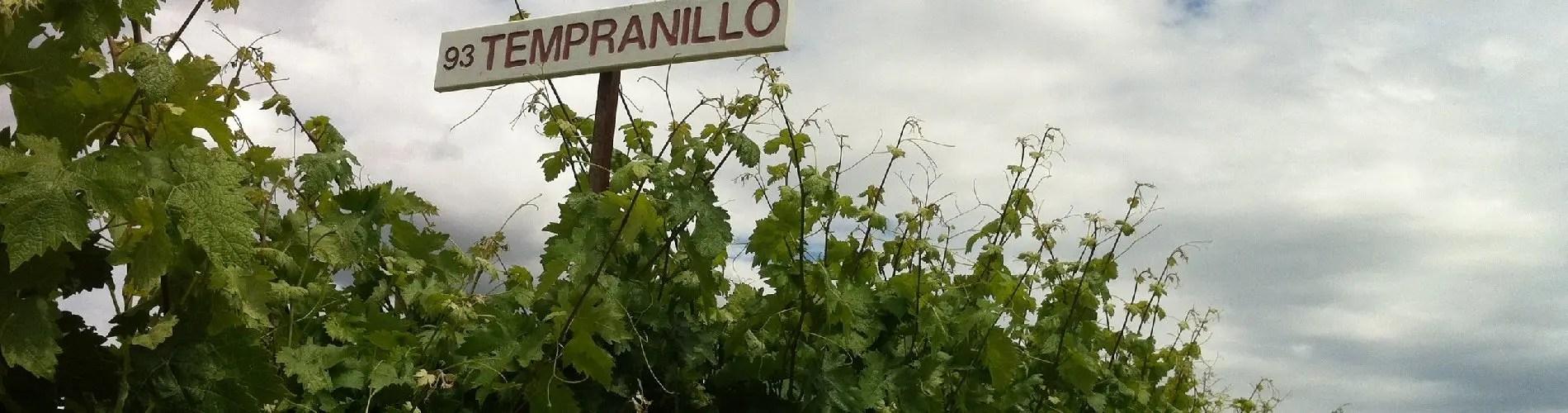 Tempranillo vines