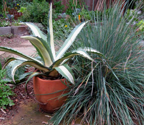 California fescue & striped agave