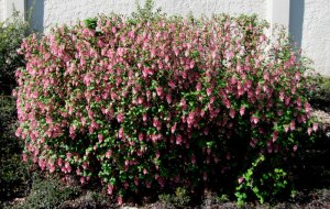 inexplicably hedged ribes sanguineum