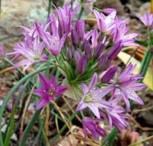 allium fimbriatum purdyii