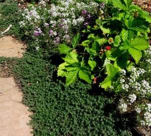 alpine strawberry, woolly thyme, alyssum