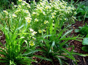 meadowfoam and salad greens