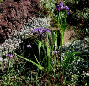 sedum with iris