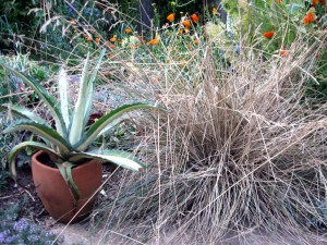 Festuca californica in June