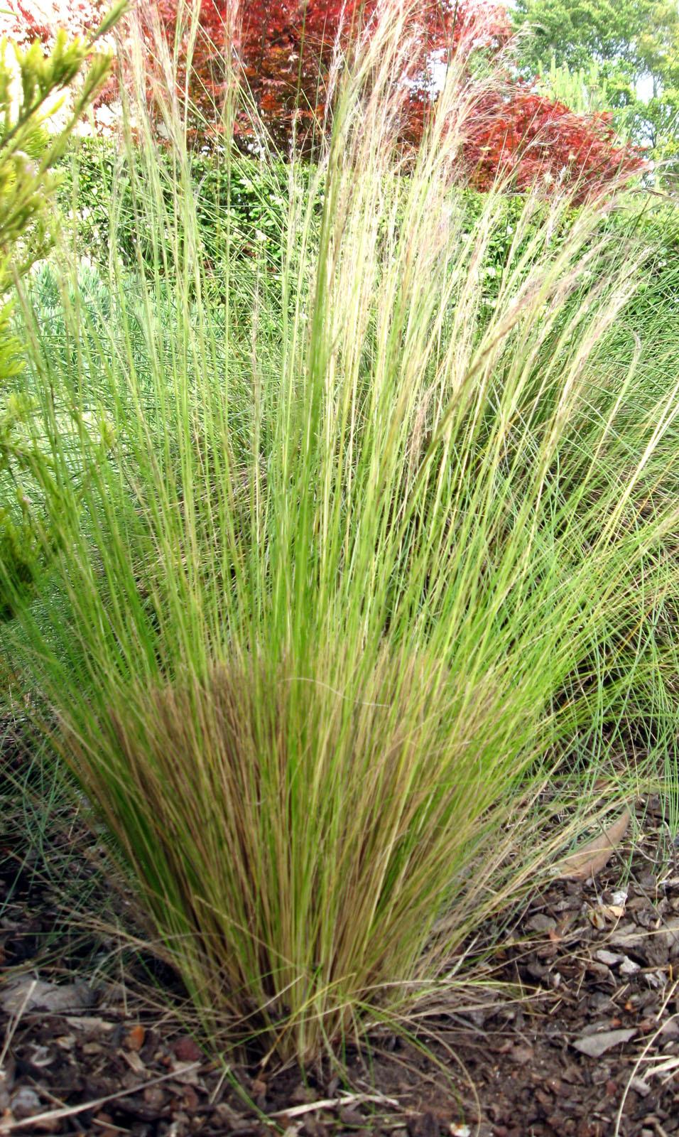 DryStoneGarden » Blog Archive » Maintaining Ornamental Grasses