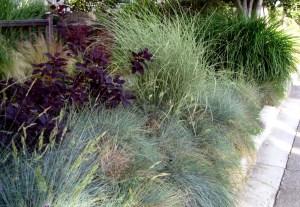 smokebush and grasses