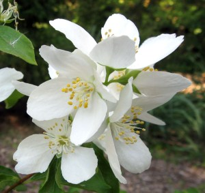 Western Mock Orange, Philadelphus lewisii