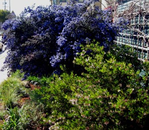 Ceanothus Dark Star, Manzanita, and dormant Wild Grape