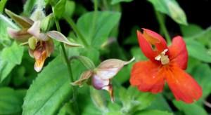 Epipactis gigntea and Mimulus cardinalis