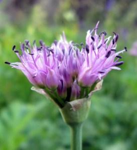 Swamp Onion, Allium validum