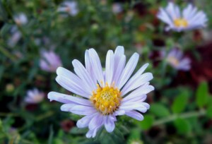 Seed-Grown Coast Aster, Aster chilensis