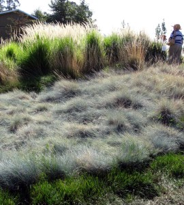 Blue Fescue Lawn with Pennisetum Fairy Tails