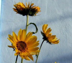 Maximilian Sunflower, Helianthus maximiliani