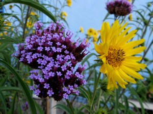 Verbena bonariensis and Maximilian Sunflower