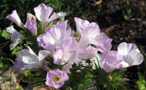 Mountain Phlox, Linanthus grandiflorus