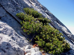 Foxtail Pine on Tenaya Peak