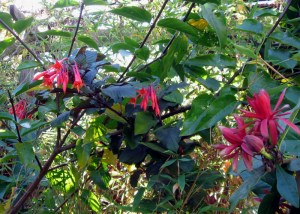 Fuchsia and Spicebush