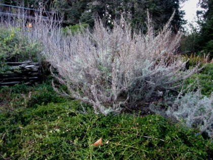 Artemisia californica with Manzanita