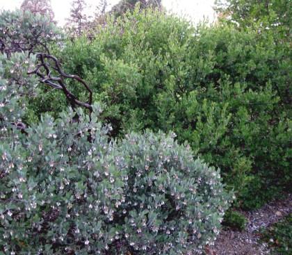 Gray Manzanita with Green Manzanita