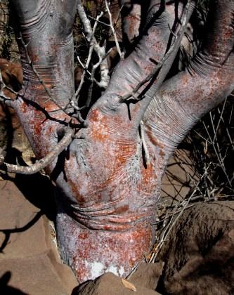 Bursera hindsiana, Red Elephant Tree Trunk
