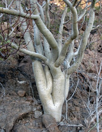 Elephant Tree, Bursera microphylla