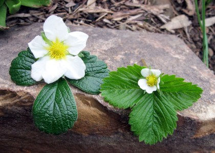 Fragaria chiloensis and Fragaria vesca