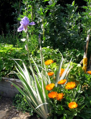 Variegated Iris with Calendula