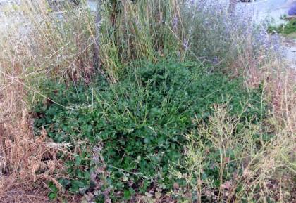 Ceanothus with weeds