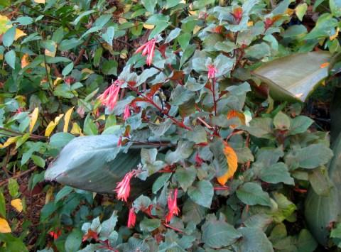 Gartenmeister Bonstedt Fuchsia