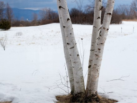 Birch and Show