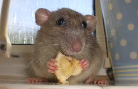 شركة مكافحة فئران بالرس شركة مكافحة فئران بالرس شركة مكافحة فئران بالرس download 59