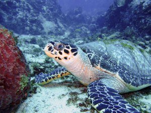 tortue au rocher du Diamant- DSC club de plongée