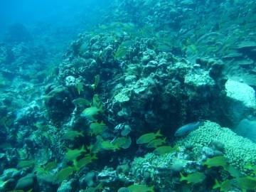 banc de poisson baie du Diamant- DSC club de plongée