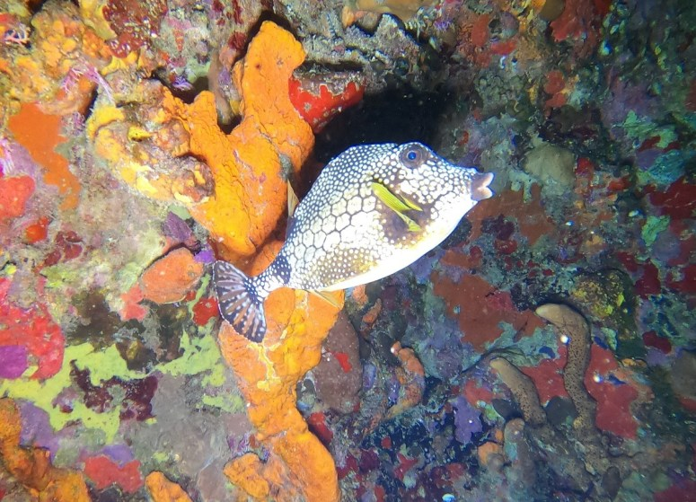 poisson coffre de nuit -DSC club de plongée du Diamant