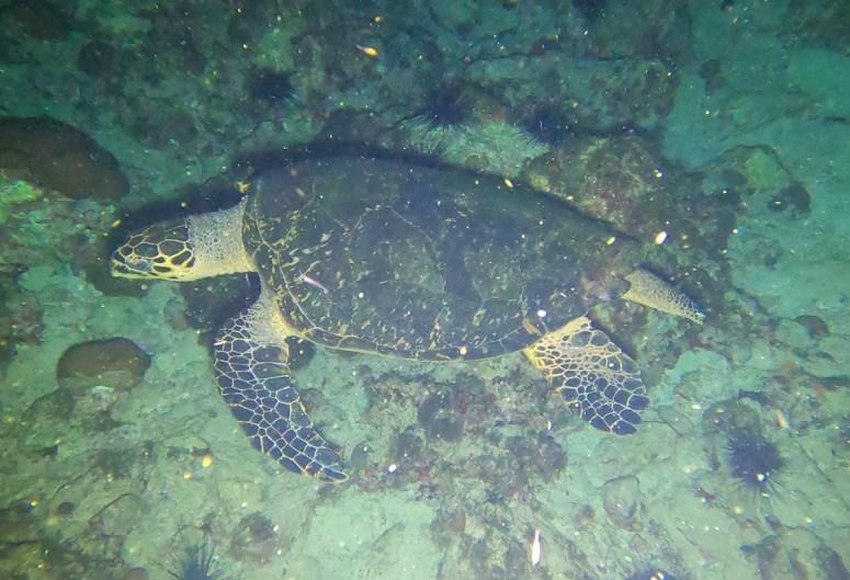 tortue au rocher la nuit -DSC club de plongée du Diamant