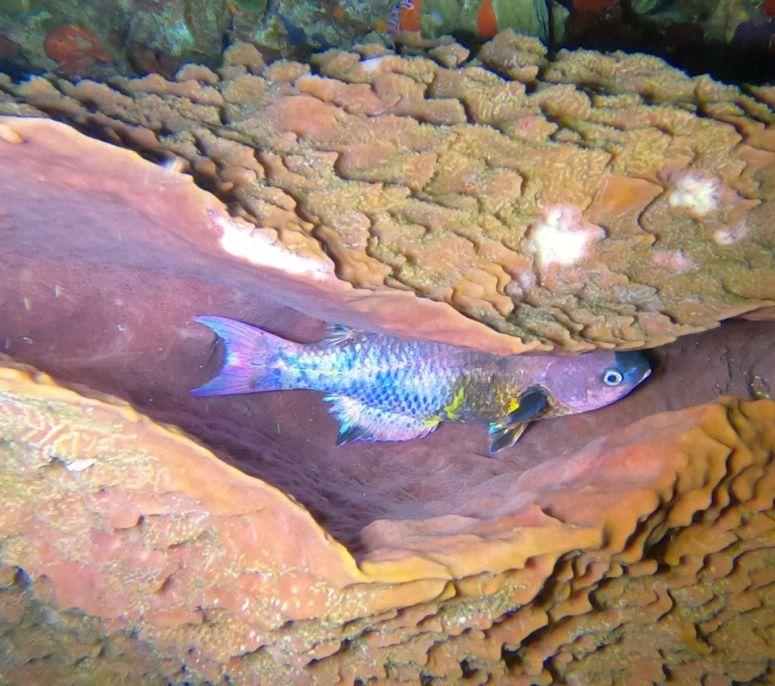 poisson dans éponge de nuit- DSC club de plongée du Diamant