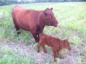 grass fed cow and calf