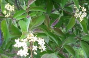 Pale Dogwood (Cornus amomum)