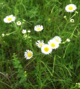 Daisy or Rough Fleabane (Erigeron annuus)