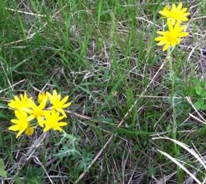 Prairie Ragwort (Packera plattensis)