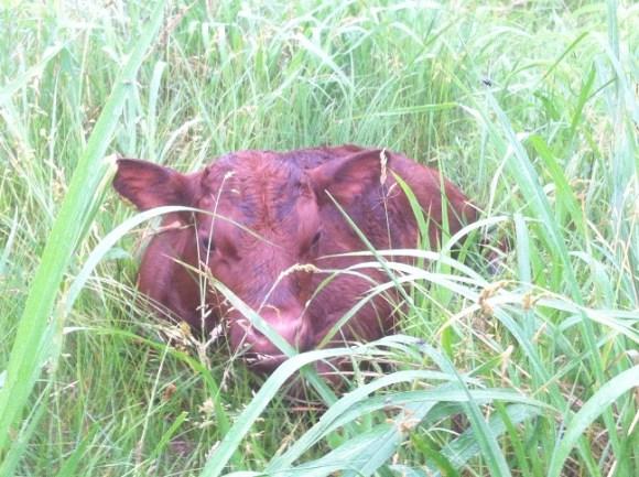 newly born calf