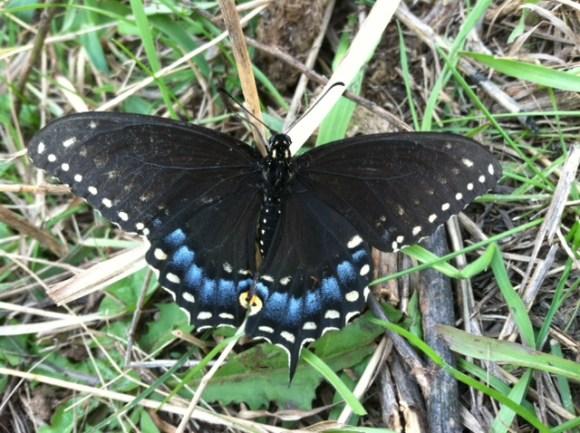 easternti ger swalowtail