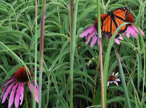 purplecone flower monarch butterfly