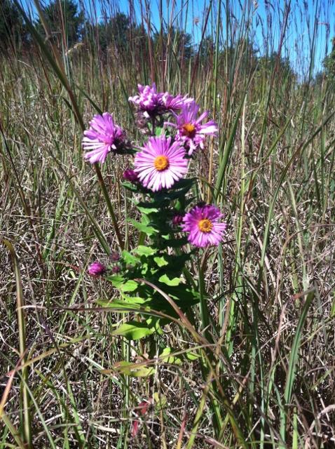 prairie restoration new england aster
