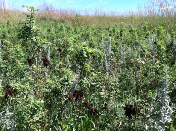 Sagewort (Artemisia frigida) white plant and Wild Licorice (Glycyrrhiza lepidota).  Brown burs are on the wild licorice.