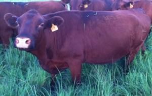 Cow #7 - 3/8 Angus - 5/8 Devon