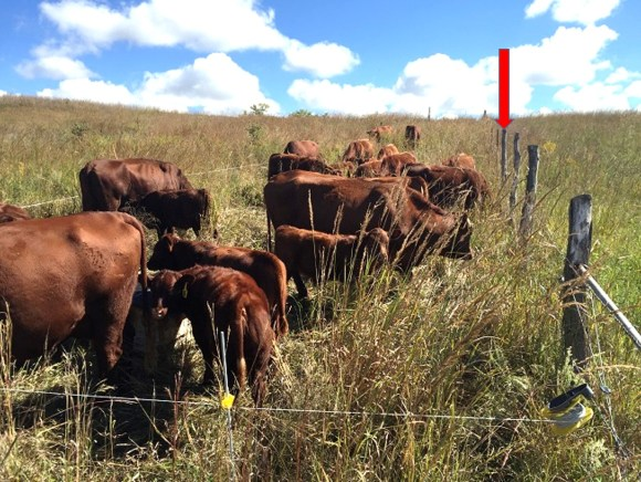 cattle grazing fence lines