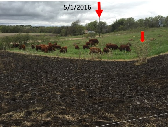 Animal impact following spring rain event 2016.
